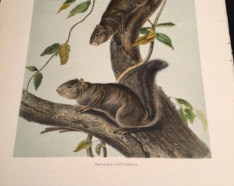 Collies Squirrel, Plate CIV, Original Hand-Colored Stone Lithograph from Audubon's Quadrupeds of North America