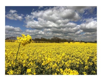Yellow Flowers In A Field Of Gold. Rapeseed in a pretty landscape. Landscape of rapeseed field. Landscape photography for wall art gift.