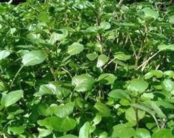6 Watercress aka Nasturtium officinale (cai xoong, xa lach xoong) Live Plants