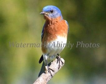Blue Bird Male Top of Branch 8x10 #2813_40_2015