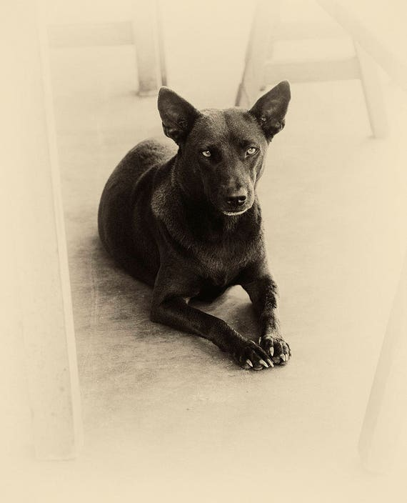 VIETNAM STORIES 2. Dog Photography, Animal Portrait, Vietnam, Sepia Tone Print, Photographic Print, Pet Picture
