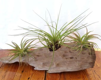 Driftwood with Air Plants , Three Air Plants   Tillandsia , Driftwood   Centerpiece , Home Decor , Great Office Gift , Coastal Decor