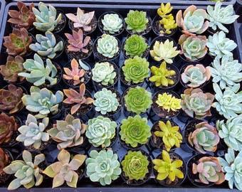 rosette succulent plants
