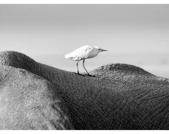 elephant and egret, wildlife photography, black and white, nature home decor, Kenya, Africa home decor, nature photography, fine art print