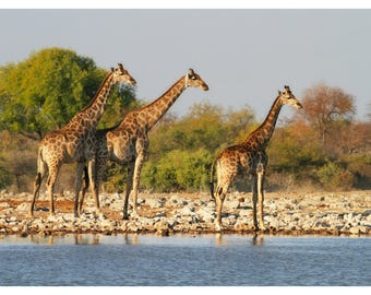 giraffe family, dust at the watering hole, Namibia, Africa, wildlife photography, nature home decor, fine art photography, animal art print