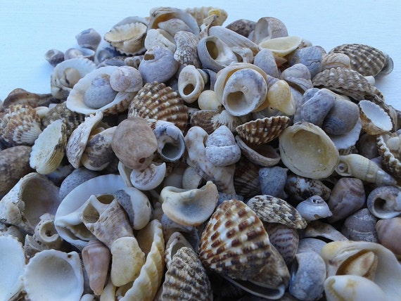 Small and tiny sea shells natural beach shells beach for Tiny shells for crafts