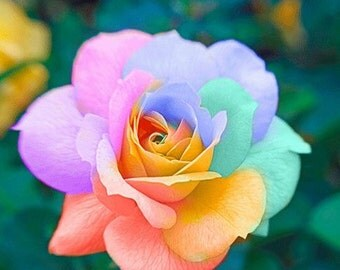 Rainbow rose seeds etsy for Growing rainbow roses from seeds