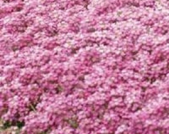 60+ Pink Sweet Fragrant Alyssum Flower Seed Perennial/ Ground Cover