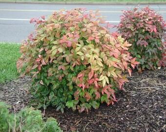 10 Dwarf Nandina Firepower (ornamental shrub)