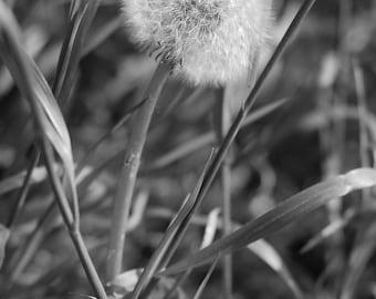 Make a Wish, Dandelion Postcard, Black and White Print, Nature Photo, 5 x 7