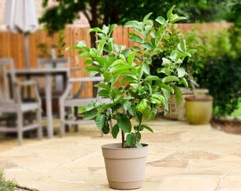 10 Brazilian Guava Seeds, Psidium guineense, Tropical Plant Tree Seeds - Combine Shipping!