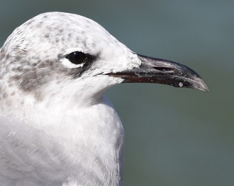 A little gull