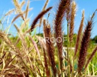 Wild field, grass photographic PRINT