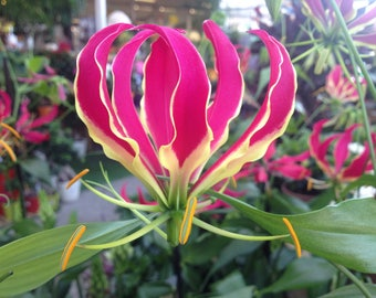 100 Seeds Gloriosa superba, flame lily, fire lily, gloriosa lily, climbing lily, and creeping lily.
