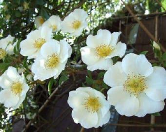 10 WHITE JAPANESE ROSE Rosa Rugosa Alba Bush Flower *Flat Shipping