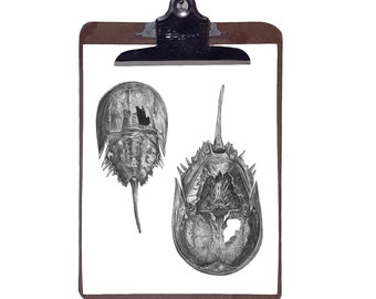 Horseshoe Crab Drawing