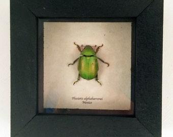 Real beetle framed - Plusiotis alphabarrerai