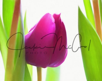 Fine art Tulip photograph