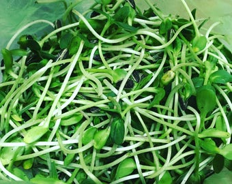 Sunflower Microgreens Seeds. Large Pack. Grow your own greens. (Organic Black Oil Sunflower Seeds)