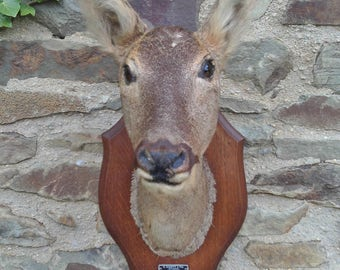 A Very Nice French Taxidermy Hunting Trophy Female Deer Head Mounted On An Oak Shield