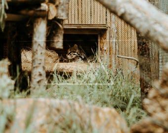Curious Ocelot