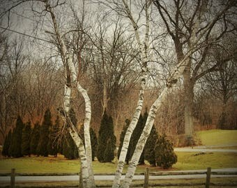 white birch tree, vermont