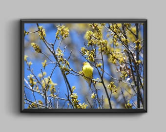 Nature Photography -  Yellow Finch in a Blue Sky Bird Wildlife Wall Decor Print
