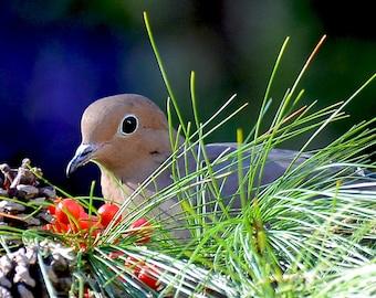 Dove in Pine