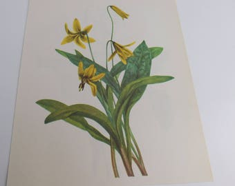 Vintage Botanical Print - Yellow Addler's Tongue & Avalanche Lily