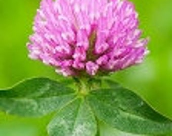 Red Clover Tea Fragrance Oil - Soap fragrance oil - Scents for soap - Soapmaking supplies