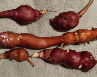 Sunchoke - Variety Red Rover - Helianthus tuberosa - Sunroot - Jerusalem Artichoke Tubers for Planting or  Eating -- Bitcoin accepted here!