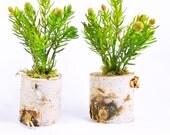 Succulent Planter - Birch Wood Vase - Faux Succulent - Succulent Arrangement - Faux Succulent Plant - Rustic Planter - Catcus Planter