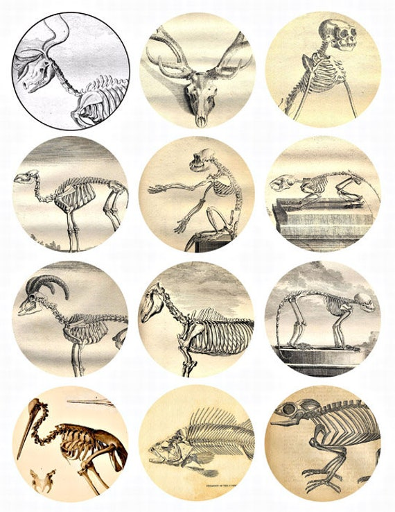 animal skeletons anatomy collage sheet 2.5 inch circles clip art digital download images printable graphics for coasters tags pins crafts