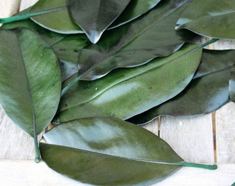 25 Magnolia leaves preserved green - Gift wrapping-Party Favors-Wedding invitations
