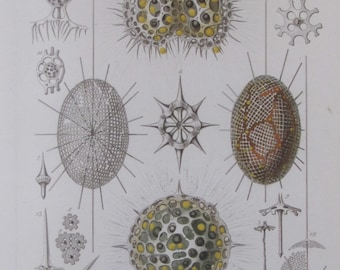 Ocean Life, Nature Print by Ernst Haeckel, 9.5 x 12 in. Vintage Book Page, Wall Art, Unframed Sea Life Print