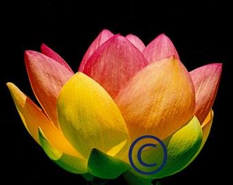 Sacred Lotus