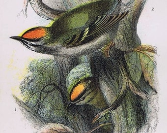 """1896 BIRD Chromolithograph with 8""""x10"""" mat, 'Goldcrest and Firecrest', Exquisite, Stunning, Classy, Great Gift, Nature, Gorgeous, Christmas"""