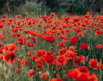 Poppy Photograph, Poppy Red Flowers, Flower Photography, Wild Flowers Photography, Nature Photo, Poppies Print, Spring Decor, Red Flowers