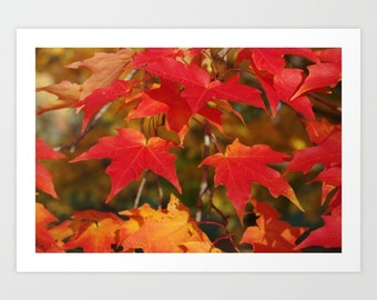 Art Print - Fiery autumn maple leaves, red, scarlet, gold, orange, autumn photograph | home decor, gift for gardener