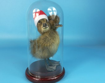 taxidermy of  2 headed black duckling mounted in glass dome Birthday Gift/Christmas Gift