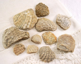 11 exogyra shell fossilized shards pieces ancient oyster bivalve fossil of Cretaceous period (no.205)