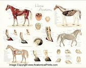 "Horse Anatomy Poster Wall Chart - 18"" X 24"""