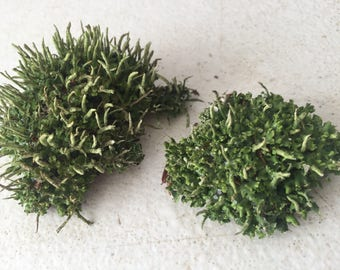 Fresh Live 2 Pieces of Pityrea Cladonia