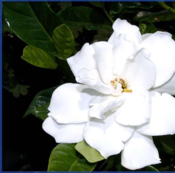 Gardenia Radicans Variegata: Gardenia Jasminoides 'radicans' Single Plants