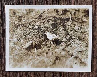 Original Vintage Photograph I Know Why the Kookaburra Sings