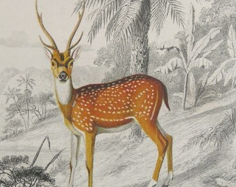 1855 Antique print of a SPOTTED DEER. Axis Deer. Chital. Cheetal. Deers. Natural History. Forest Animals. 162 years old gorgeous engraving