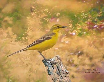wildlife print, yellow wagtail print, bird print, wildlife photography, wildlife picture, bird art, nature print, home décor, bird wall art