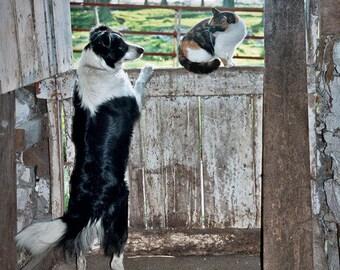 Border Collie, Cat, Fine Art, Photography, Wall Decor, Farm Life, Barn, Print