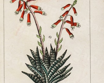 Antique original Natural History Botanical Potted Roses Hand Colored Engraving