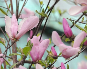 Pink Magnolia Photograph - Soft Pink Flower - Magnolia Tree - Floral Wall Art - Spring Garden - New York Magnolia - Nature Photograph